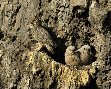 """""""Looks Like Twins""""  Female Great Horned Owl with owlets.  There are actually three babies in this small hole on the side of the cliff."""