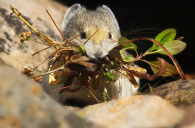 a mouthful. Pika Rock Glacier, K-Country Alberta, Canada