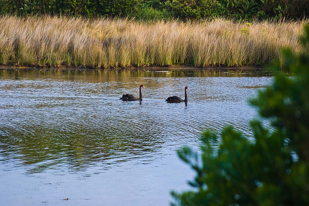 Austrailian swans near our campsite in St. Helens, Tasmania