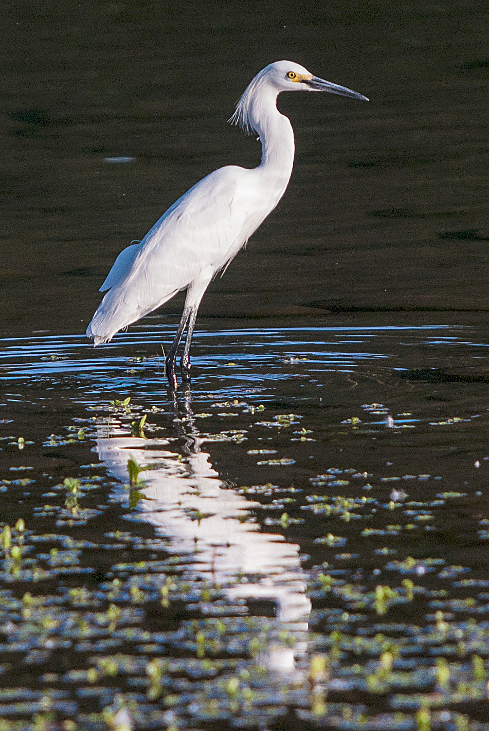 Snowy Egret at River Bend Park