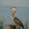 Blue Heron, Ferry Point Park