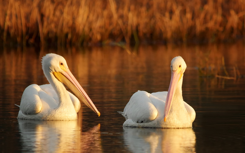 White Pelicans in morning light<br /> Lake Toho, FL