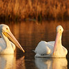 White Pelicans in morning light<br /> Lake Toho, FL