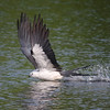 bath time!<br /> Swallow-tailed Kite<br /> Deland, FL