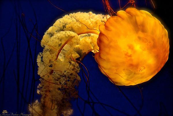 Pacific Sea Nettle_Chrysaora fuscescens