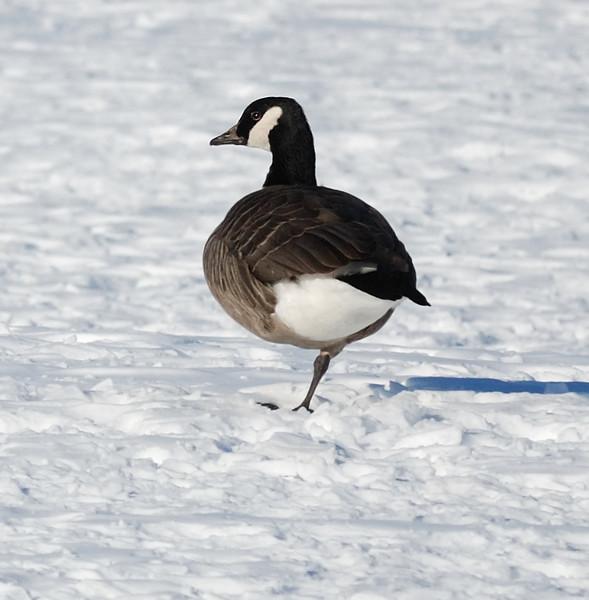 Goose near Friendship, Maryland