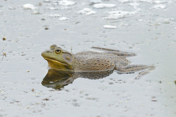 Resting Frog