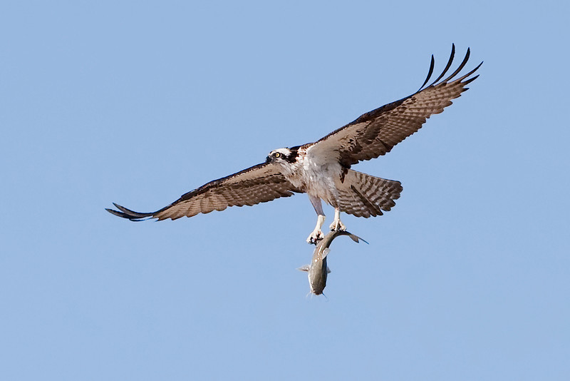 Osprey carrying a Catfish