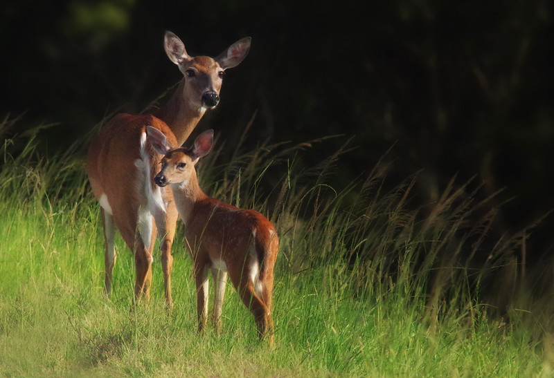 white-tailed deer doe and fawn<br /> Viera Wetlands