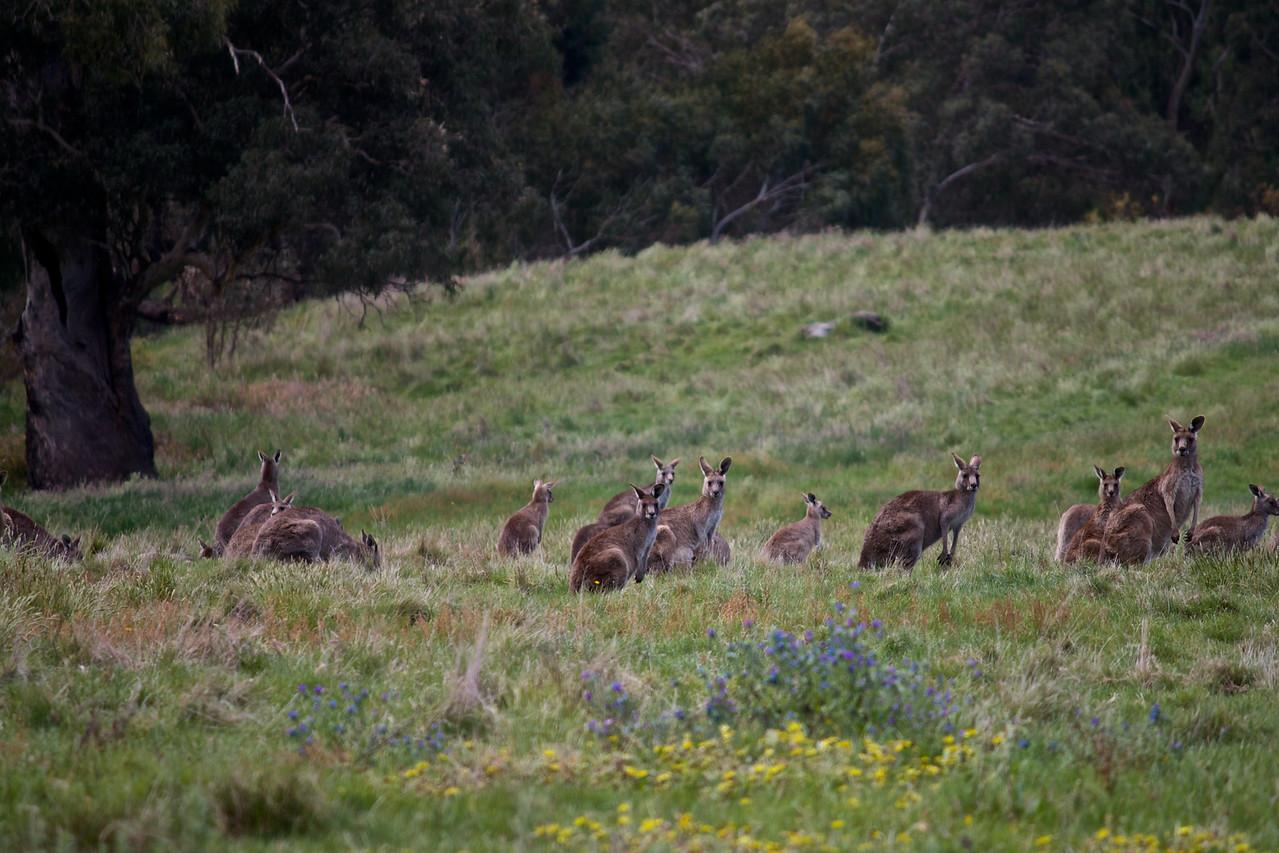 A herd of Kangaroos