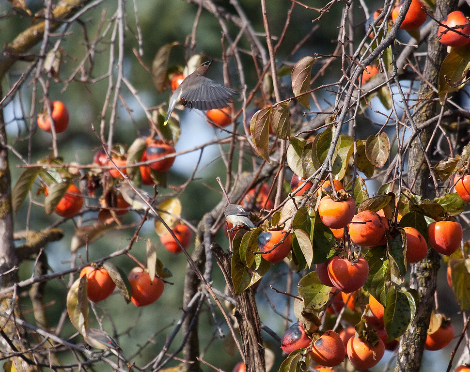 Cedar Waxwings are having their morning breakfast of persimmons