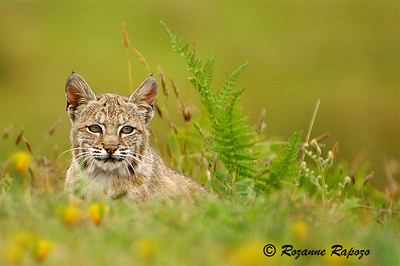"""""""Bobby-Cat""""  A young bobcat was resting in a field by Pt. Arena Lighthouse.   I was able to get this wonderful shot before he ran off."""