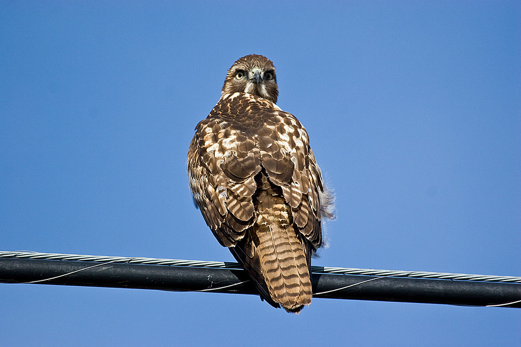 Red Shoulder Hawk, Sacramento Wildlife Refuge, January 1, 2008.