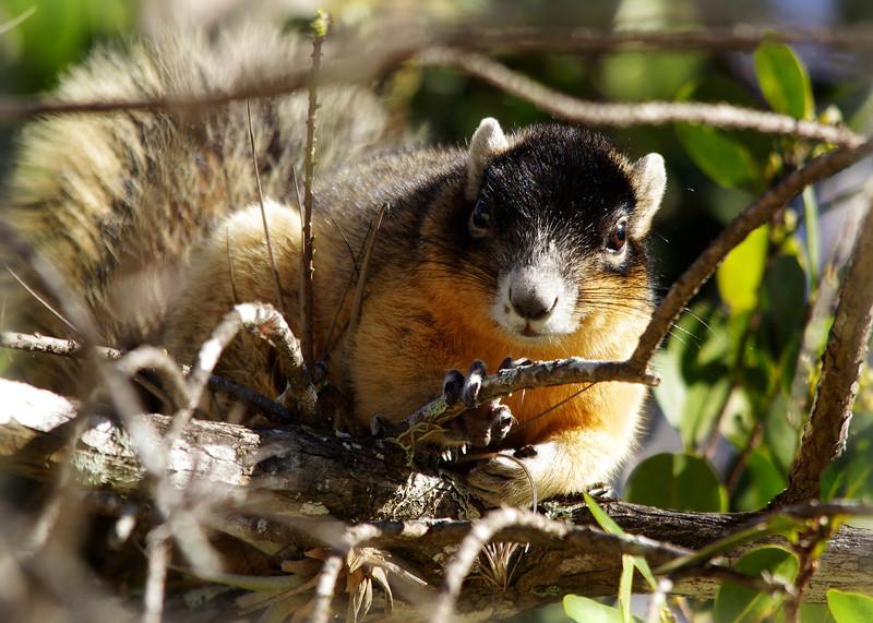 Big Cypress Fox Squirrel<br /> Big Cypress National Preserve<br /> Ochopee, Florida