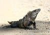 A Black spiny tailed iguana at Carara National Park in Costa Rica