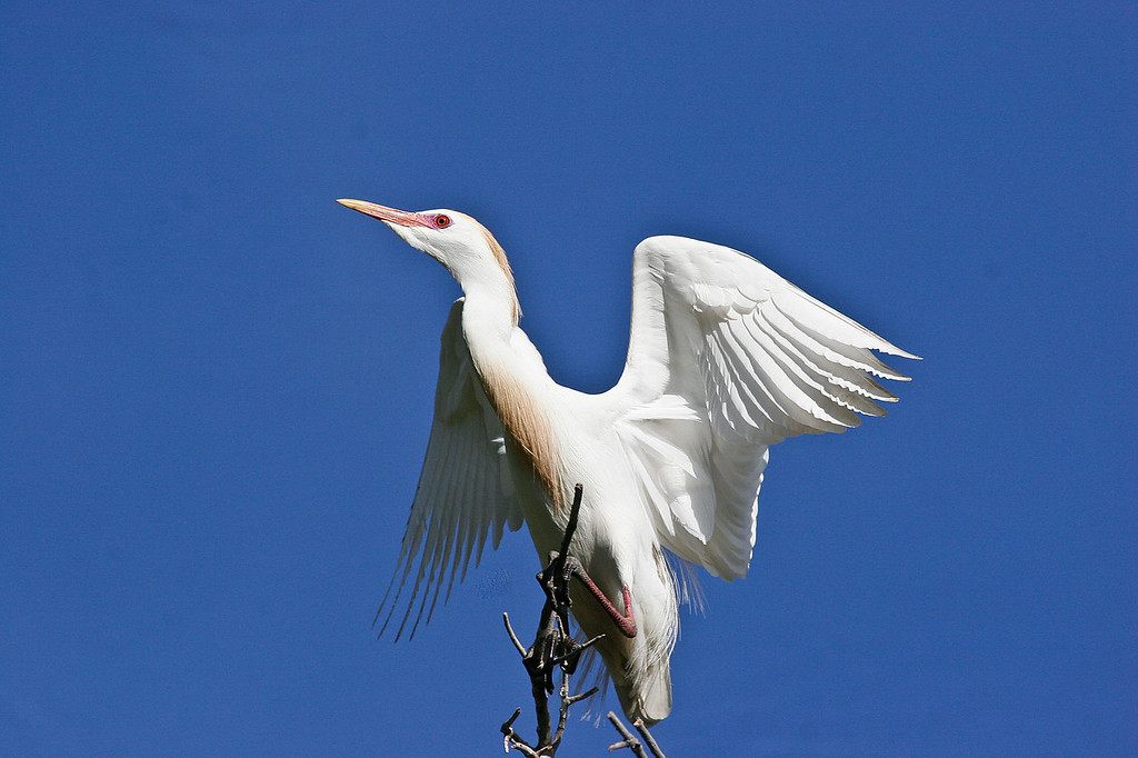 Cattle Egret, UC Davis campus