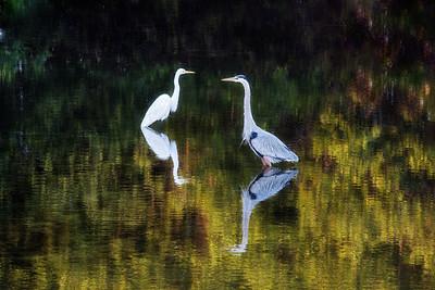 Egret and Heron Fishing