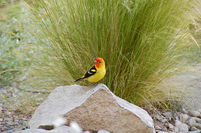 Western Tanager.