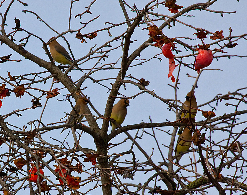 Cedar Waxwings in neighbor's persimmon tree Canon 20D 100-400mm @ 400mm