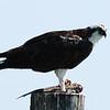 Osprey having lunch