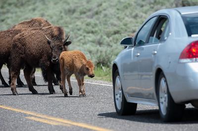 Bison First Car
