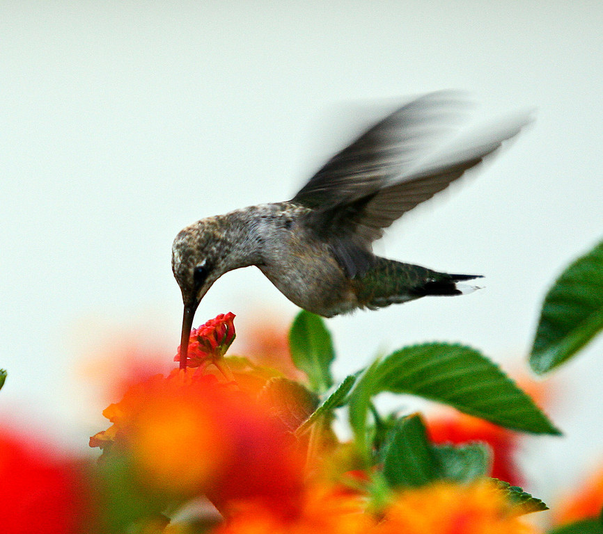 Hummer at our house