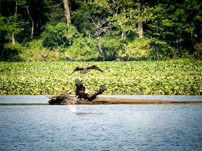 Osprey dive bombing an Eagle