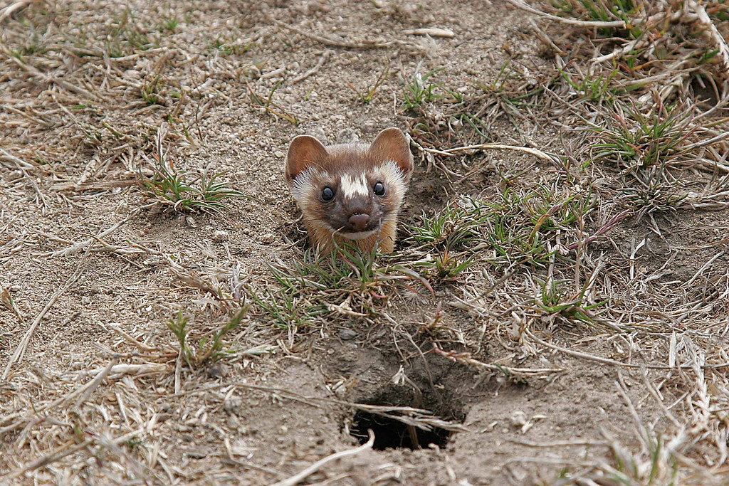 Weasel at Bodega Bay, CA.  Canon 20D, 24 - 105mm L series lens.