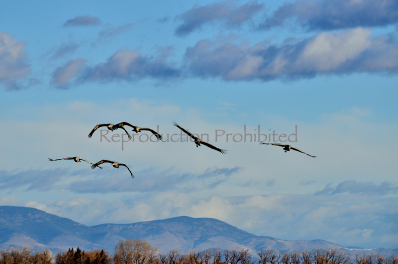 Incoming Snow Cranes, Monte Vista National Wildlife Refuge, CO.  Winter 2011