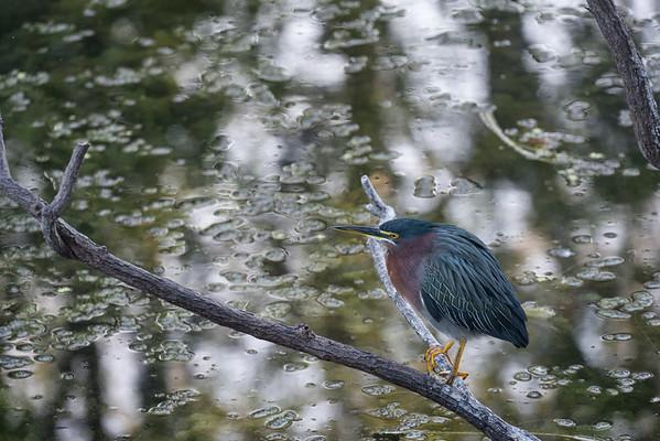 Heron, Big Cypress National Preserve