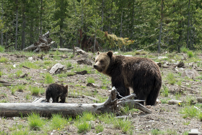 Grizley Mom and Cub