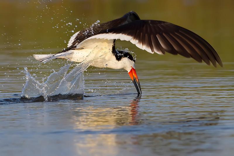 Black Skimmer, Navarre, Florida