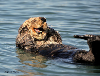 """""""Dow's Up""""  Sea Otters can provide hours of enjoyment watching their behavior. This particular otter appeared to be smiling. In the current economy, it looked to me like he had gotten some good news!"""
