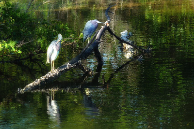 Two Herons and a Reflection