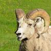 Male Bighorn Sheep.  He appears to be saying something.