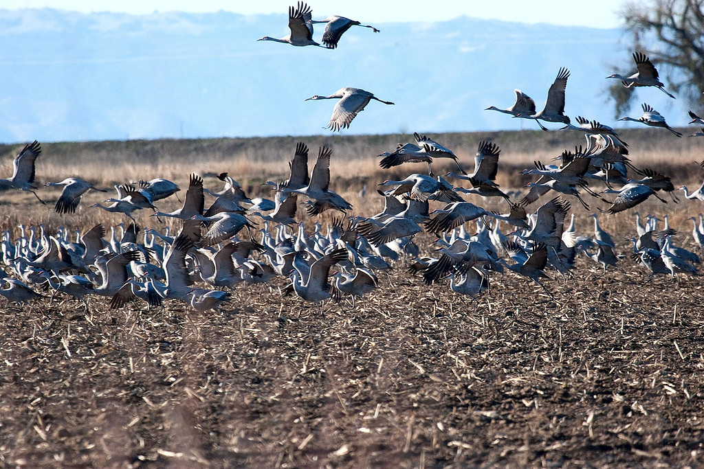 Sand Hill Cranes, Thanksgiving day 2007  There was a flock of them in a corn field.  Needless to say, once we invaded their space, it was time to take off.