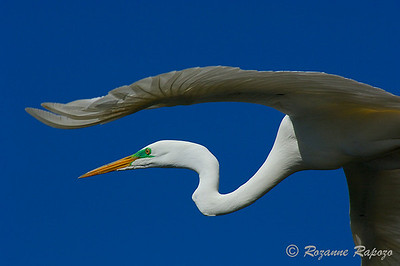 """""""Great White Egret in Flight""""  The Egret flew directly over my head and filled the picture frame.   The angle makes it appear as if his wing is over his head."""