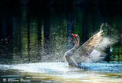 """""""Celebration""""  After splashing about in the water, this Chinese Goose spread his wings.  The shutter speed was slow enough to blur the movement of the water which resulted in this unusual water pattern."""