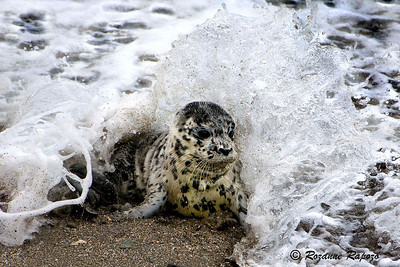 """""""Surf's Up""""  A large wave is breaking over a newly born Harbor Seal.   A fast shutter speed stopped the wave's action as it broke."""