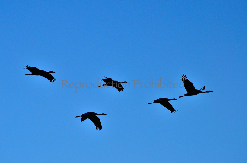 Silhouetted Snow Cranes Monte Vista National Wildlife Refuge, CO.  Winter 2011