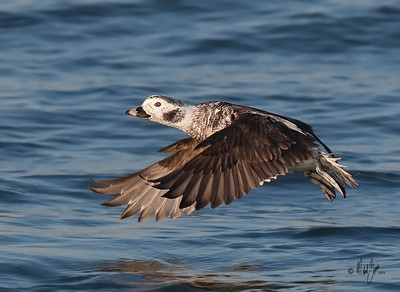 Long-tailed Duck,hen