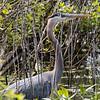 Great Blue Heron, Magee Marsh, Ohio 2017
