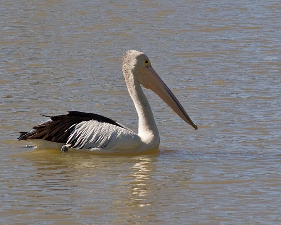 Austrailian Pelican