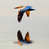 A Brown Pelican in flight. Choctawhatchee Bay, Shalimar, FL.