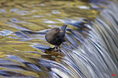 """Western Grey Dipper,"" Black River, AZ, Oct. 2007"