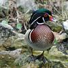 Wood Duck - Homosassa Springs Wildlife State Park