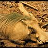 Warthog Cooling