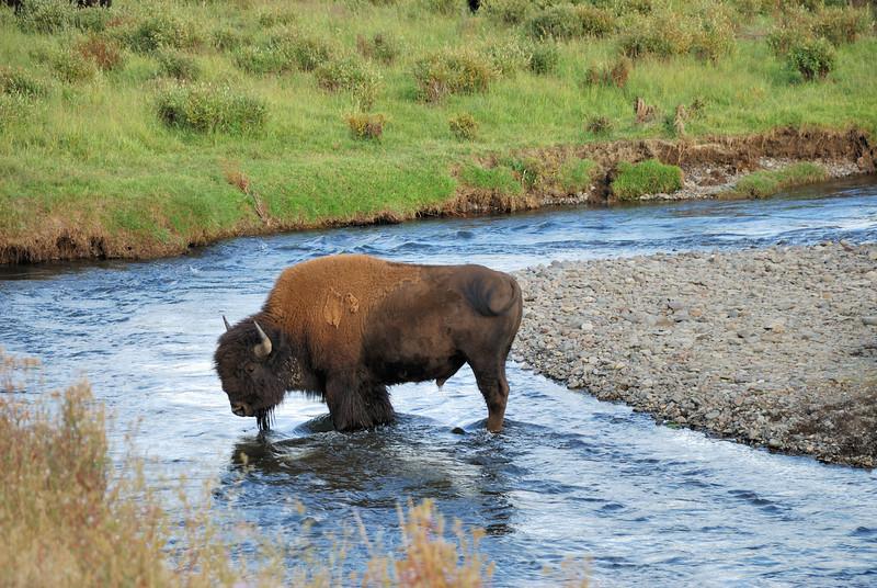 Buffalo at Lamar Valley.