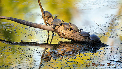 """""""Log Jam""""  Late in the afternoon, pond turtles will bask in the warm sun.  Looks like they all wanted the same log."""