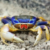 Blue Crab<br /> Islamorada<br /> Florida Keys